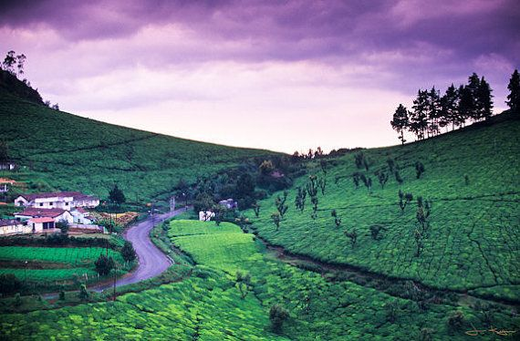 A road winds through a tea estate in Tamil Nadu, India