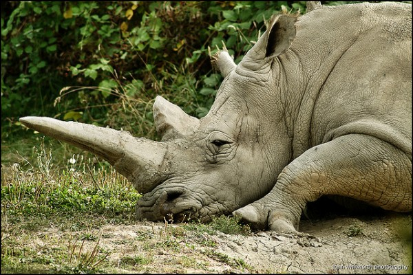 White Rhino by JWPhotowerks