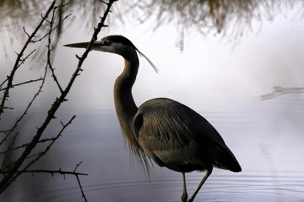 Great Blue Heron by Brendan Lally