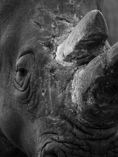 White Rhino by William Warby