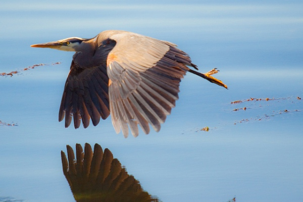 Great Blue Heron by sectionsix.net