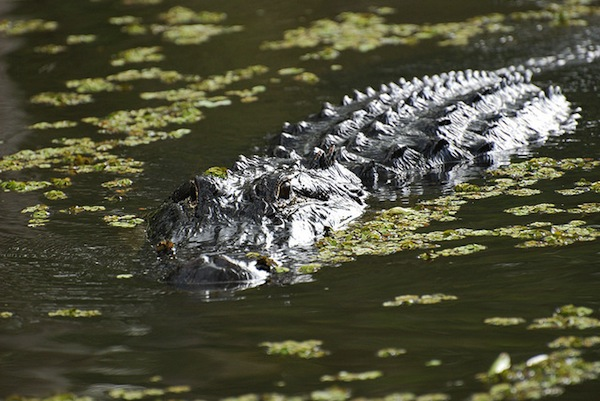 Alligator, Honey Island Swamp, Louisiana, USA by Paul Mannix