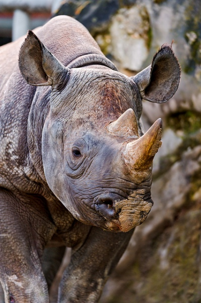 Rhino Portrait by Tambako The Jaguar