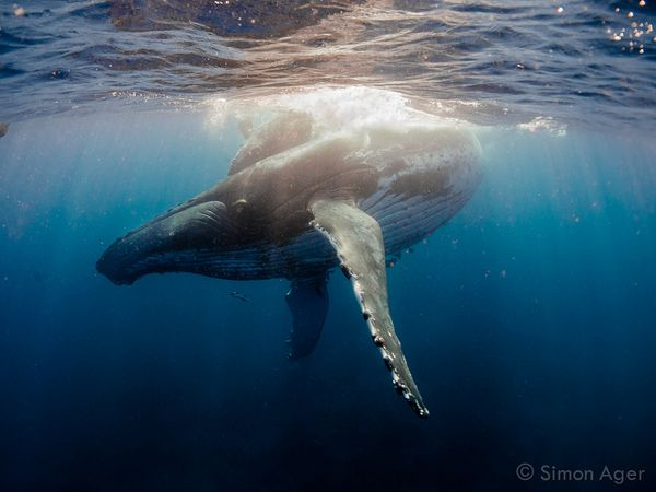 mother humpback pushes calf to surface to breathe