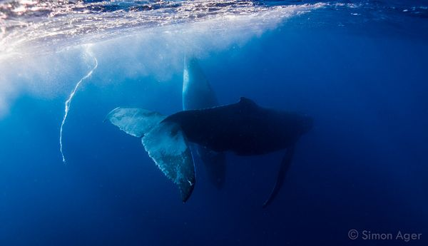 Humpbacks in labor or courting