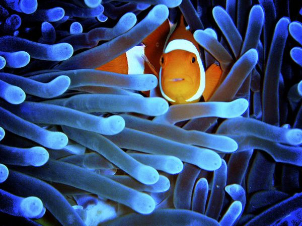 18 cool pictures of clownfish for Cool saltwater fish