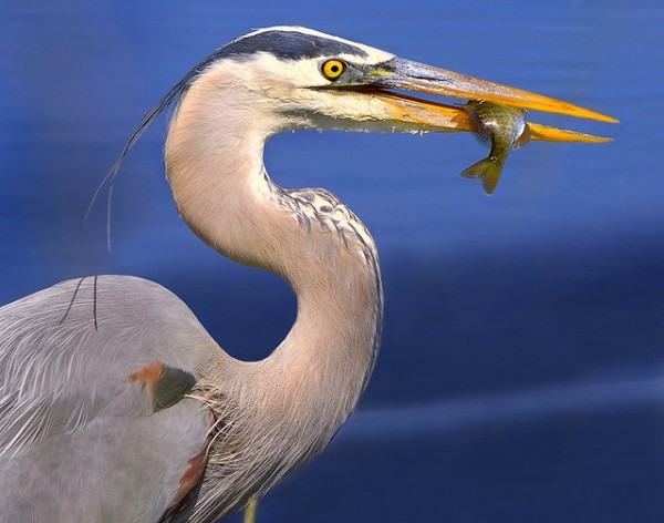 Great Blue Heron by Andrea Westmoreland