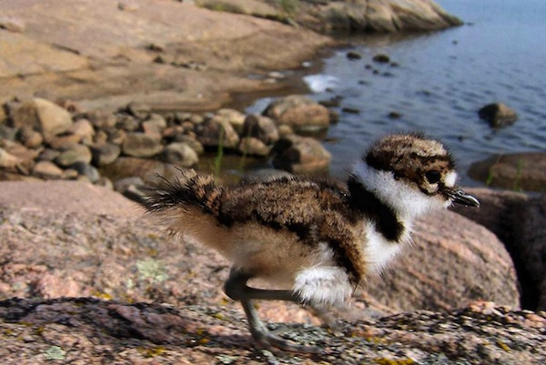 Baby sandpiper by Scott