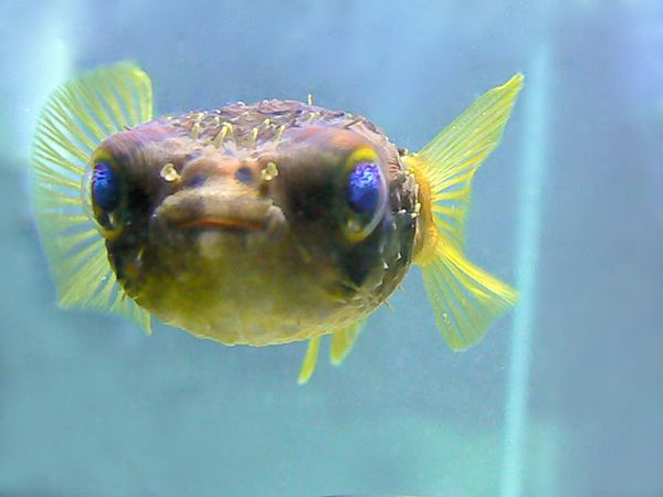 15 cool pictures of blowfish for Puffer fish florida