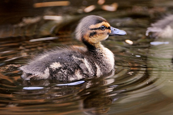 Another duckling by Tambako the Jaguar