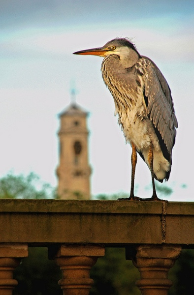 Heron in the Blue Hour by blinking idiot