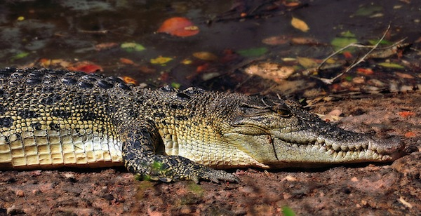 Sungei Buloh Crocodile by Schristia