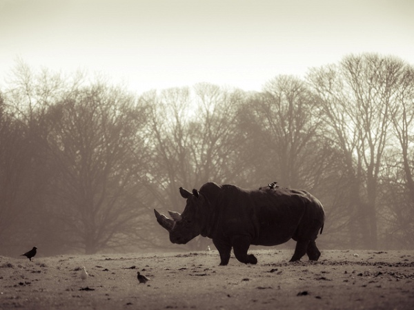 Rhino by William Warby