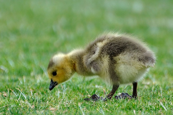 Gosling at Shoreline Park by Don DeBold
