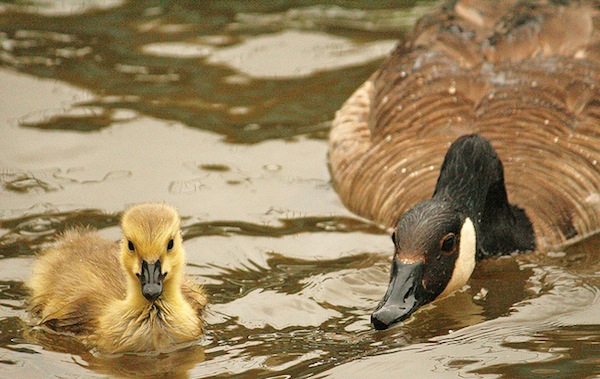 Watching over baby by Ducklover Bonnie