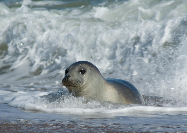 Grey Seal, Horsey Beach by Spencer Wright