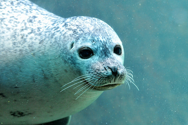 Cute seal looking though the window by Tambako the Jaguar