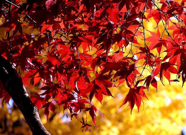 red and yellow leaves by liz west