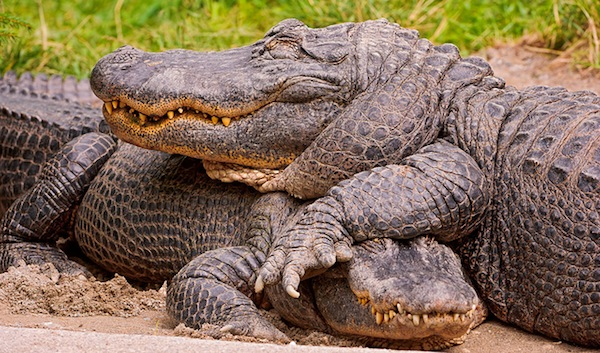 Two cute alligators by Tambako the Jaguar