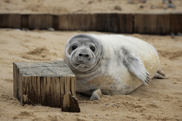 Seals at Winterton-on-Sea by Andrew Stawarz