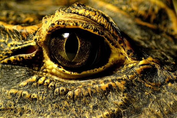crocodile eye / krokodilauge by Dennis