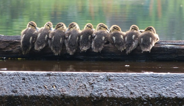 Baby Ducks on a log by Mike's Birds