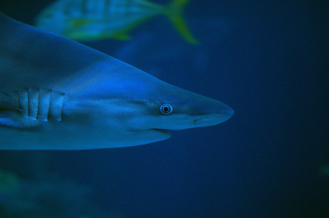 Shark Portrait @ Shedd Aquarium's Wild Reef by Joseph Bylund