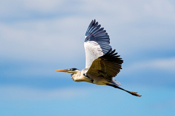 Flying Cocoi Heron by Tambako The Jaguar