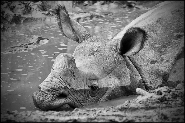 Rhino in the mud by J P