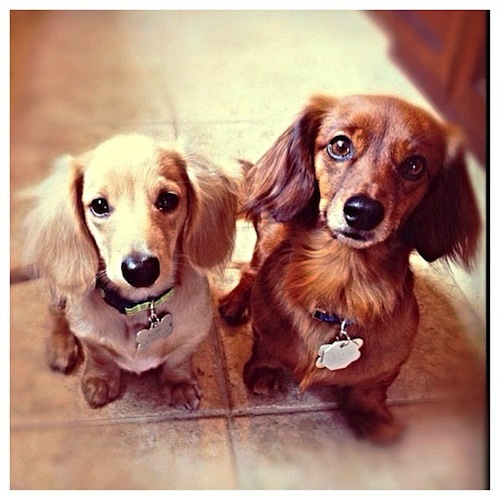 Mac & Leo, the adorable Dachshund bros by macnmessidoxies
