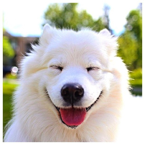 A big squinty smile to all our followers by zivahthesamoyed