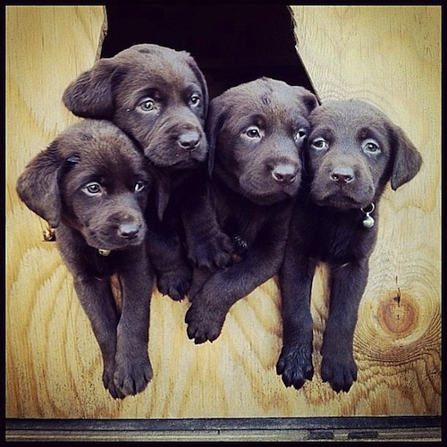 4 Chocolate Lab siblings just hanginggg out by tmacleo86