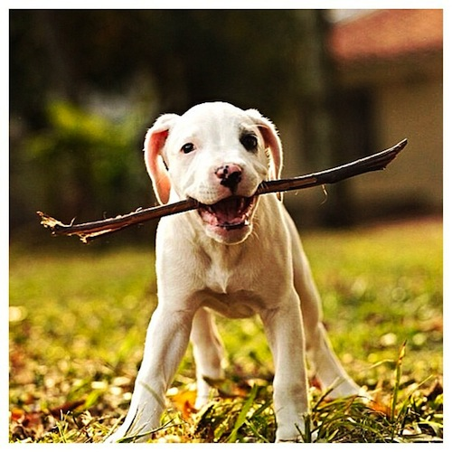 Big stick, little dog! Cute little Pitbull puppy by yesidcarvajal