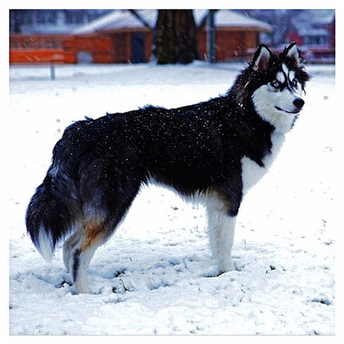 Husky pup free & wild in the snow by juneau_husky