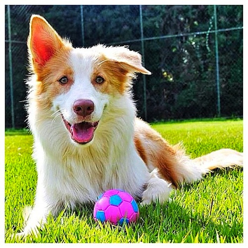 Adorable Red Australian Border Collie named Kira by boltkira