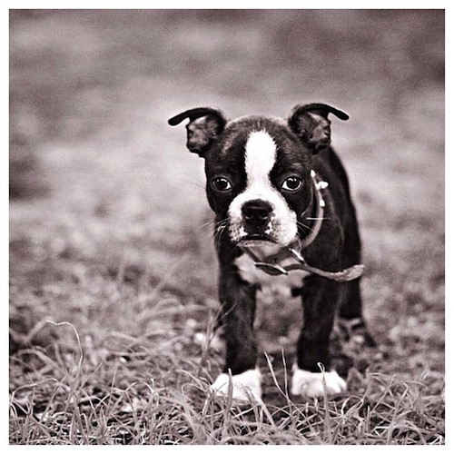 Adorable Boston Terrier by amezaingbostons