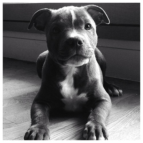 Adorable black & white puppies by staffieblue