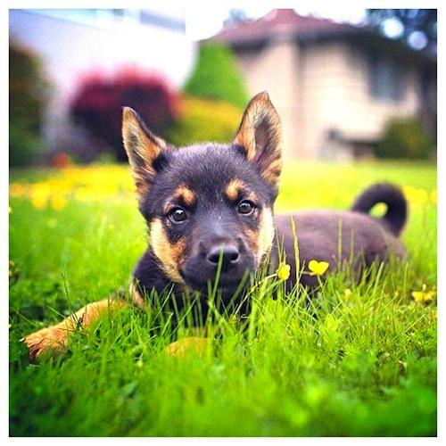 An adorable rescue German Shepherd puppy by zivahthesamoyed