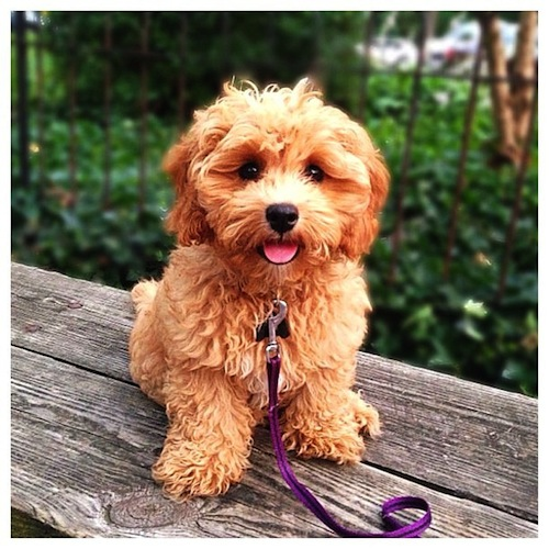 Cute Cava Goldendoodle posing for a photo by jessiegirl178