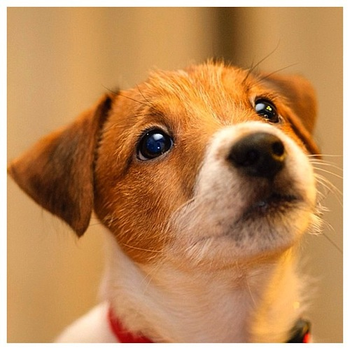 What a cute Jack Russell Terrier by alexei_tm