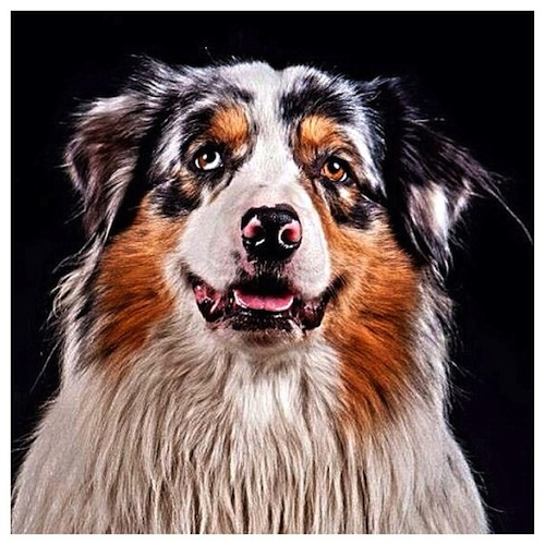 Terrific shot of an Australian Shepherd by skalicky1