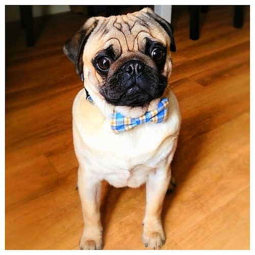 Little Pug looking fly with his new bow tie by some_little_pigs