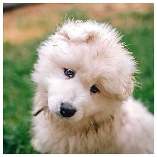 A cute head tilt from a Samoyed puppy by zivahthesamoyed