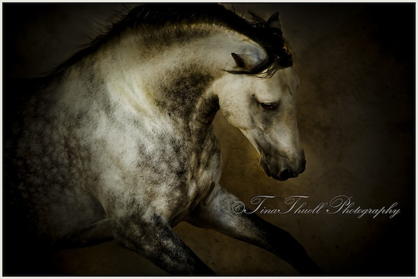 A beautiful Spanish PRE Stallion, Mid Pyrenees, Southern France