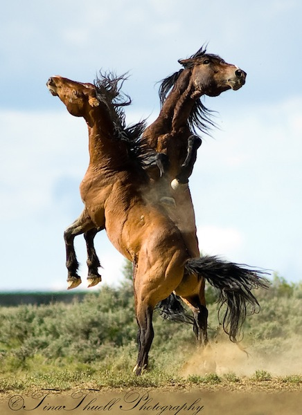 Wild Horses from The Great Divide Basin in Wyoming, battle for dominance. The strong conversation lasted just 15 seconds and was followed by total calm.
