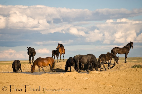 A family band of wild Mustangs shares a brief,  calm moment at the water hole in The Great Divide Basin in Wyoming.