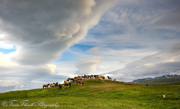 Sermon on the Mount....Another spectacular Icelandic sky with a gorgeous herd of horses gathering on the mount.