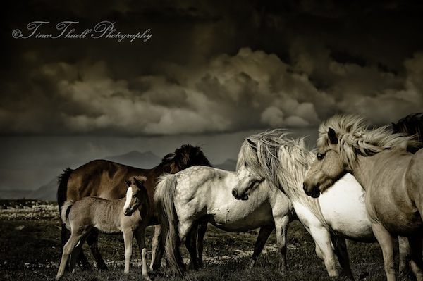 Beautiful Wild and Free on Hjorseii Island off of the Northern Coast of Iceland.