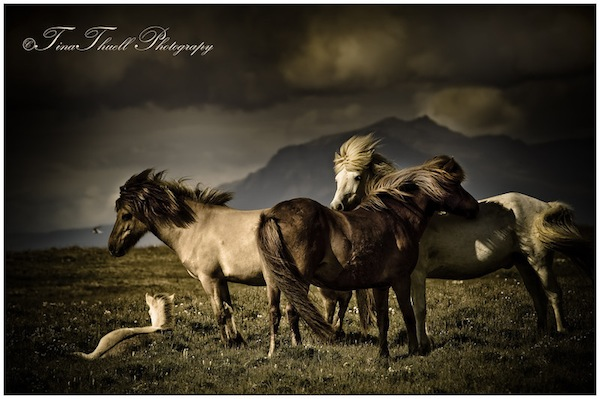 The wild horses of Iceland show us what ' Family' looks like.