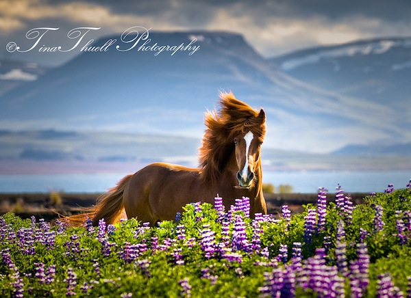 With the Mountains as a backdrop, this beautiful Icelandic had a great time running through a field of wild flowers. His curious nature is so evident on his face.